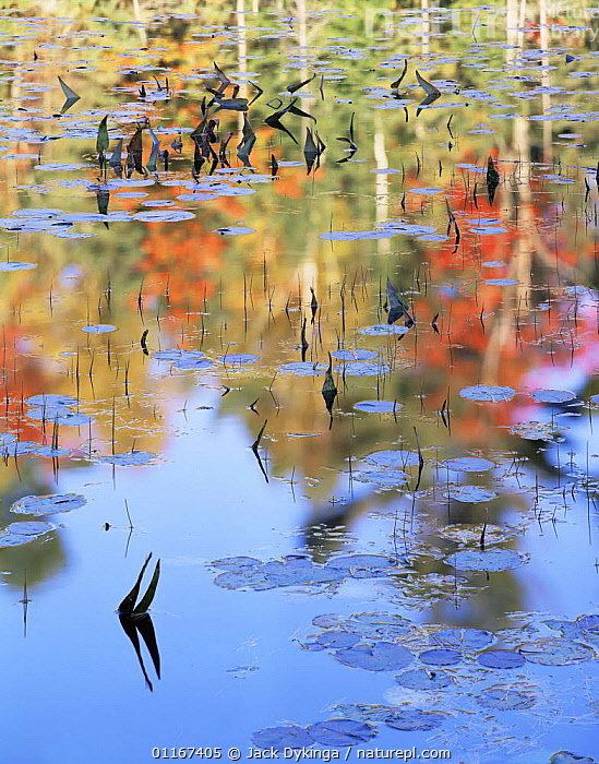 Autumn tree colours reflected on the Mahzenazing River, Water Lillies (Nuphar variegatum) and Water Arum (Calla palustris) on surface, Killarney Provincial Park, Ontario, Canada  ,  arty shots,AUTUMN,CANADA,FRESHWATER,NORTH AMERICA,PLANTS,PONDS,REFLECTIONS,RIVERS,SURFACE,VERTICAL  ,  Jack Dykinga