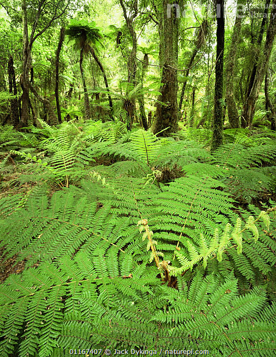 Soft Tree Ferns (Balantium antarcticum) in lowland rainforest, Whakapohai Wildlife Refuge, South Island, New Zealand  ,  AUSTRALASIA, DICKSONIACEAE, FERNS, FORESTS, fronds, GREEN, LEAVES, new zealand, PLANTS, PTERIDOPHYTES, rainforests, TREES, VERTICAL, wet  ,  Jack Dykinga