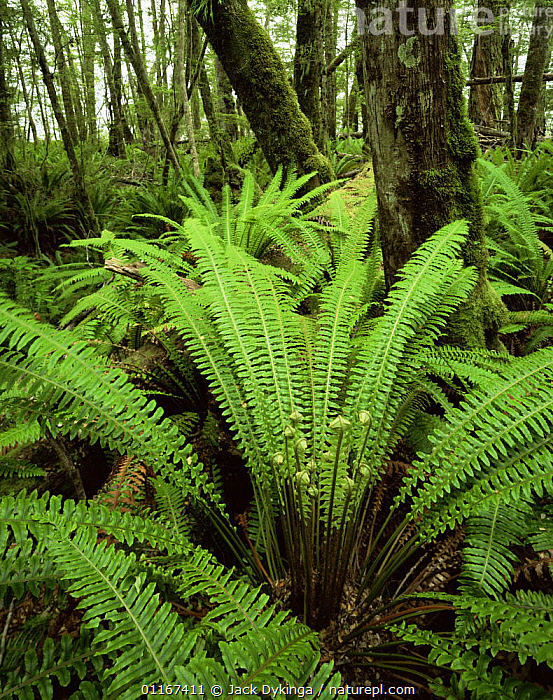 Silver Beech (Nothofagus menziesii) with an understorey of Crown Ferns (Blechnum discolor), Kepler Track, Fiordland National park, South Island, New Zealand  ,  AUSTRALASIA,BLECHNACEAE,FERNS,FORESTS,fronds,GREEN,LANDSCAPES,LEAVES,new zealand,PLANTS,PTERIDOPHYTES,TREES,TRUNKS,VERTICAL , understory  ,  Jack Dykinga