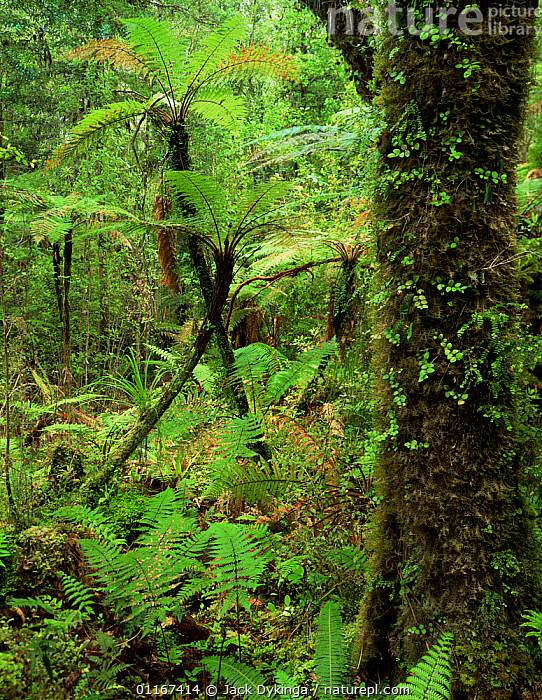 Moss and ferns in lowland rainforest, Westlands National Park, South Island, New Zealand  ,  AUSTRALASIA,CYATHEACEAE,FERNS,FORESTS,GREEN,HABITAT,LANDSCAPES,MOSS,PLANTS,PTERIDOPHYTES,rainforests,TEMPERATE RAINFOREST,UNDERSTOREY,VERTICAL,wet,Catalogue1  ,  Jack Dykinga