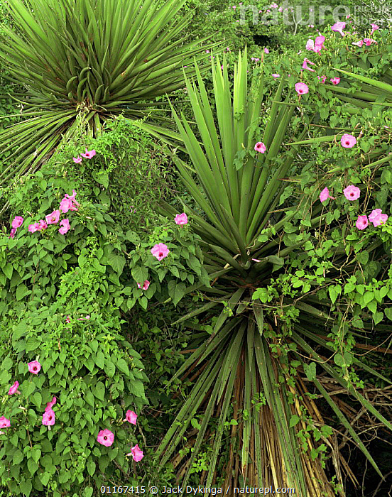 Morning Glories (Ipomoea sp) intertwined in Yuccas (Yucca treculeana), coastal plains of eastern Tamaulipas, Mexico  ,  AGAVACEAE,CENTRAL AMERICA,CLIMBERS,CONVOLVULACAEA,DICOTYLEDONS,FLOWERS,MEXICO,PINK,PLANTS,VERTICAL,YUCCAS  ,  Jack Dykinga