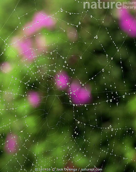 Spider web covered with water droplets with pink flowers of Morning Glory (Ipomoea sp) behind, Sierra Cucharas, Tamaulipas, Mexico  ,  ARACHNIDS,ARTHROPODS,ARTY SHOTS,CENTRAL AMERICA,DEW,INVERTEBRATES,MEXICO,SPIDERS,VERTICAL,WEBS  ,  Jack Dykinga