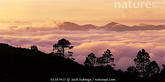 Fog in the Sierra Madre Oriental mountain range at sunrise, Tamaulipas, Mexico  ,  CENTRAL AMERICA,CLOUDS,DAWN,FOG,LANDSCAPES,MEXICO,MOUNTAINS,PEACEFUL,PINES,SILHOUETTES,Concepts,Weather,CENTRAL-AMERICA  ,  Jack Dykinga
