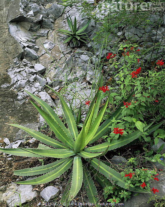 Agave (Agave lophantha) on rock face with red flowering Bouvardia sp, Sierra Madre Oriental, Mexico  ,  AGAVACEAE,CENTRAL AMERICA,FLOWERS,MEXICO,MONOCOTYLEDONS,MOUNTAINS,PLANTS,ROCKS,SPINES,THORNS  ,  Jack Dykinga