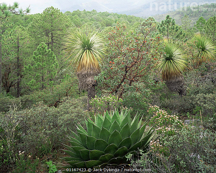 Agave (Agave montana) in mountain habitat in the Sierra Madre Oriental range, Nolina (Nolina sp), Madrone and Pine (Pinus sp) also present, Tamaulipas, Mexico  ,  AGAVACEAE,AGAVES,CENTRAL AMERICA,FLOWERS,HABITAT,HIGHLANDS,LANDSCAPES,MEXICO,MONOCOTYLEDONS,MOUNTAINS,PINES,PLANTS,SUCCULENTS,TREES,Catalogue1  ,  Jack Dykinga