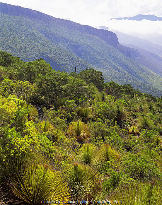 Sotol (Dasylirion sp) in mountain habitat in the Sierra Madre Oriental mountain range, Tamaulipas, Mexico  ,  CENTRAL AMERICA,CLOUDS,LANDSCAPES,MEXICO,MOUNTAINS,PLANTS,VERTICAL,Weather,CENTRAL-AMERICA  ,  Jack Dykinga