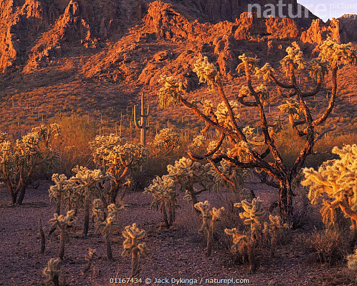 Chain-fruit Chollas (Opuntia fulgida)(foreground) and Saguaro cacti (Carnegiea gigantea) at dawn with the Sand Tank Mountains in the background, Sonoran Desert National Park, Arizona  ,  arizona, CACTACEAE, CACTUS, DESERTS, DICOTYLEDONS, LANDSCAPES, mixed species, north america, PLANTS, SPINES, SUNRISE, USA  ,  Jack Dykinga