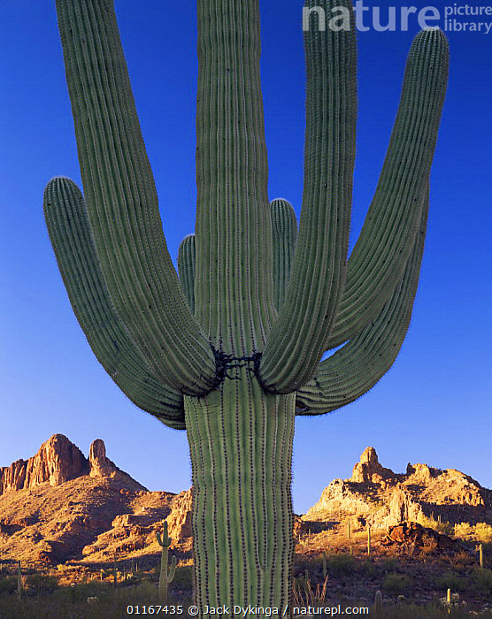 Saguaro Cactus (Carnegiea gigantea) with Sand Tank Mountains in background, sunset, Sonoran Desert National Monument, Arizona  ,  ARIZONA,CACTACEAE,CACTI,CACTUS,DESERTS,DICOTYLEDONS,LANDSCAPES,NORTH AMERICA,PLANTS,SPINES,USA,VERTICAL  ,  Jack Dykinga