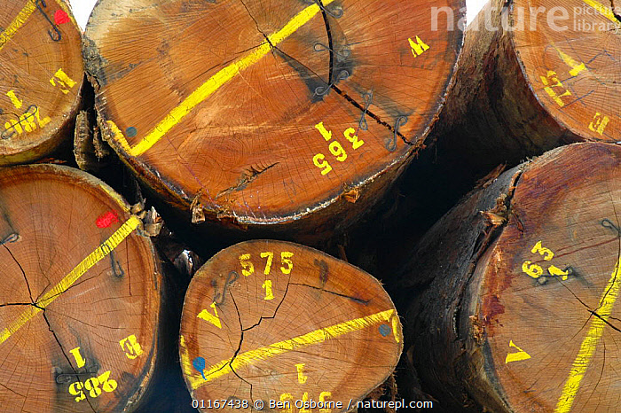 Marked tropical hardwood timber loaded ready for transporting to the coast (for shipping or processing), Nr Lope forest, Gabon, 2004  ,  DEFORESTATION,LOGS,TIMBER,TRUNKS,CENTRAL AFRICA,Africa,WEST-AFRICA  ,  Ben Osborne