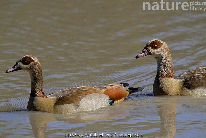 Egyptian goose {Alopochen aegyptiaca} Kruger National Park, South africa  ,  BIRDS,DUCKS,GEESE,PAIR,RESERVE,SOUTHERN AFRICA,TWO,VERTEBRATES,WATERFOWL,Wildfowl, waterfowl  ,  Gabriel Rojo