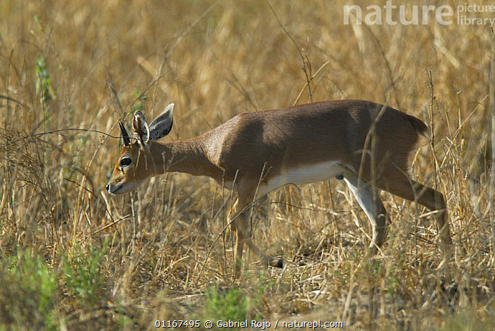 Steenbok {Raphicerus campestris} male, Kruger National Park, South Africa  ,  ARTIODACTYLA,BOVIDS,MALES,MAMMALS,RESERVE,SOUTHERN AFRICA,STEENBOKS,VERTEBRATES  ,  Gabriel Rojo