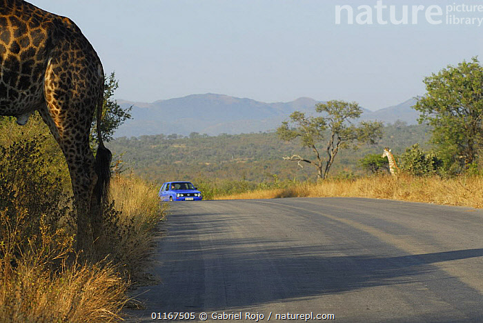 Road through Kruger NP, South Africa, with Giraffe crossing  ,  GIRAFFES,LANDSCAPES,MAMMALS,RESERVE,ROADS,SAFARI,SOUTHERN AFRICA,VEHICLES,VERTEBRATES  ,  Gabriel Rojo