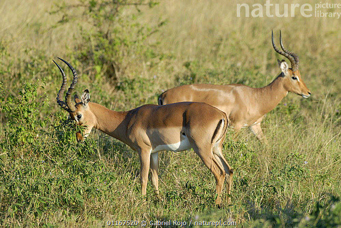 Impala {Aepyceros melampus} male marking territory, Kruger National Park, South Africa  ,  ARTIODACTYLA,BEHAVIOUR,BOVIDS,IMPALAS,MALES,MAMMALS,RESERVE,SOUTHERN AFRICA,TERRITORIAL,VERTEBRATES,Antelopes  ,  Gabriel Rojo