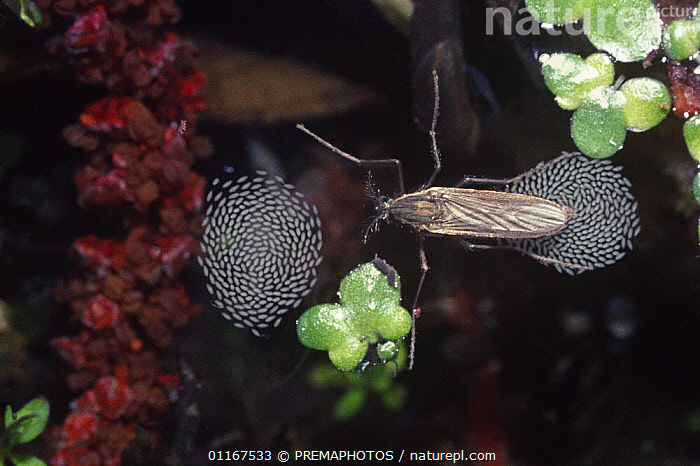 Female mosquito (Culicidae) laying rafts of eggs on the surface of a pond, UK  ,  BEHAVIOUR,DIPTERA,EGGS,EUROPE,FEMALES,FLIES,FRESHWATER,INSECTS,INVERTEBRATES,MOSQUITOES,REPRODUCTION,UK,United Kingdom,British  ,  PREMAPHOTOS