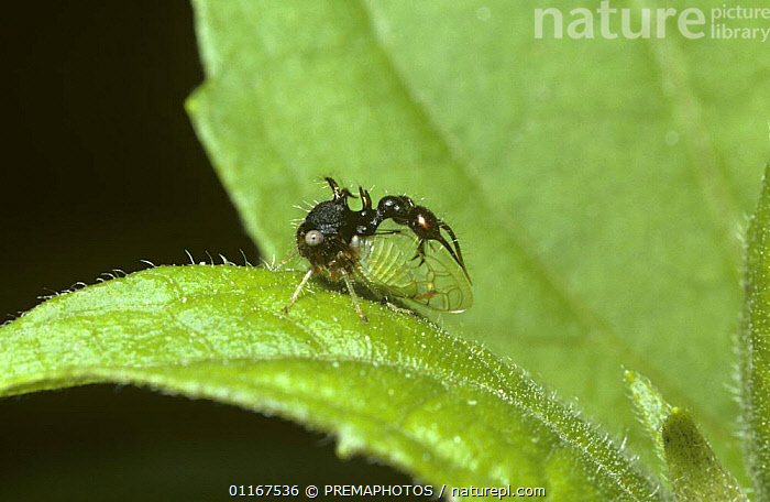 Treehopper (Cyphonia clavata) which probably mimics an ant, in rainforest, Trinidad  ,  BUGS,CARIBBEAN,HEMIPTERA,INSECTS,INVERTEBRATES,MIMICRY,TREEHOPPERS,TROPICAL RAINFOREST,West Indies  ,  PREMAPHOTOS