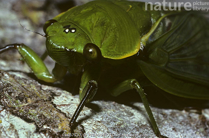 Greengrocer cicada (Cyclochila australasiae) showing ocelli on top of the head, in rainforest, Queensland, Australia  ,  AUSTRALIA,BUG,BUGS,CICADAS,CLOSE UPS,EYES,HEMIPTERA,INSECTS,INVERTEBRATES,PORTRAITS,TROPICAL RAINFOREST  ,  PREMAPHOTOS