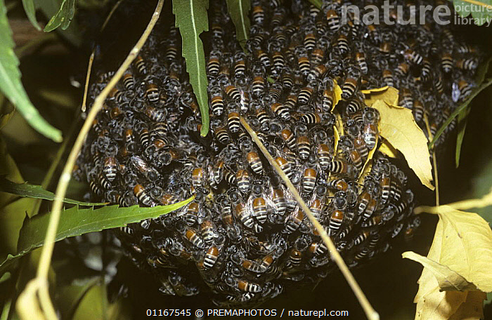 Small oriental honey bees (Apis florea) on their nest, India  ,  ARTHROPODS,ASIA,BEE,BEES,GROUPS,HYMENOPTERA,INDIA,INSECTS,INVERTEBRATES,MASS,NESTS  ,  PREMAPHOTOS