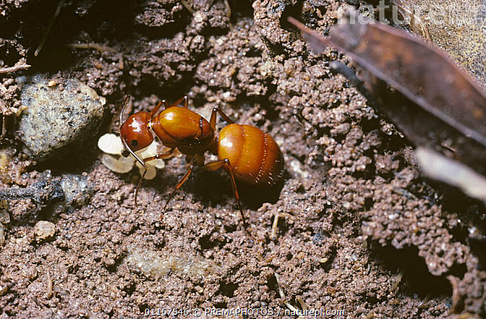Ant queen (Camponotus castaneus) with first few larvae in an early nest beneath a slab of stone, South Carolina, USA  ,  CARPENTER ANTS, FEMALES, HYMENOPTERA, INSECTS, INVERTEBRATES, north america, REPRODUCTION, USA  ,  PREMAPHOTOS