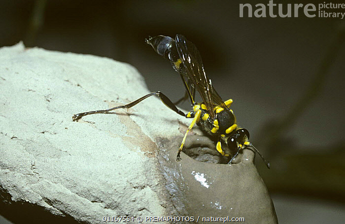 Mud-dauber wasp (Sceliphron fistularium) adding a cell to her nest in Amazonian rainforest, Brazil  ,  HUNTING-WASPS, HYMENOPTERA, INSECTS, INVERTEBRATES, nesting behaviour, NESTS, south america, tropical rainforest, WASPS  ,  PREMAPHOTOS