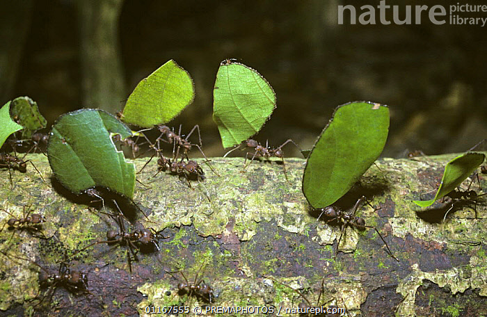 Leaf-cutting ants (Atta sexdens) returning to their nest with cut off portions of leaf for their fungus garden, in rainforest, Brazil  ,  CARRYING,HYMENOPTERA,INSECTS,INVERTEBRATES,LEAFCUTTER ANTS,SOCIAL BEHAVIOUR,SOUTH AMERICA,TROPICAL RAINFOREST  ,  PREMAPHOTOS