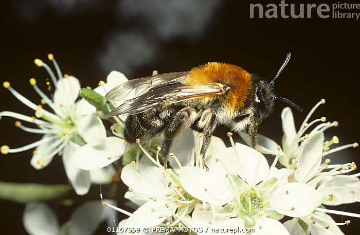 Solitary mining bee (Andrena nitida ssp. pubescens}on Blackthorn blossom in early spring, UK  ,  BEES,EUROPE,FEEDING,FLOWERS,HYMENOPTERA,INSECTS,INVERTEBRATES,UK,United Kingdom,British  ,  PREMAPHOTOS