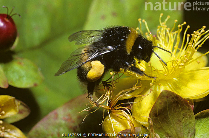 Buff-tailed bumble bee (Bombus terrestris) worker with well-filled pollen sacs foraging on Tall Tutsan flower (Hypericum x inodorum)  UK  ,  ARTHROPODS,BEES,BUMBLEBEES,EUROPE,FEEDING,FLOWERS,HYMENOPTERA,INSECTS,INVERTEBRATES,POLLINATION,UK,United Kingdom,British,,Dispersal,  ,  PREMAPHOTOS
