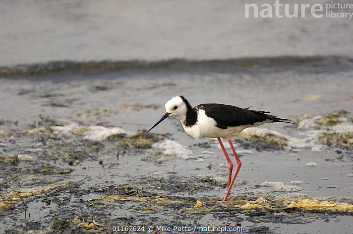 Pied / Black winged stilt {Himantopus himantopus} Ortago Peninsula, South Island, New Zealand  ,  AUSTRALASIA,BIRDS,NEW ZEALAND,PROFILE,STILTS,VERTEBRATES,WADERS,WATER  ,  Mike Potts