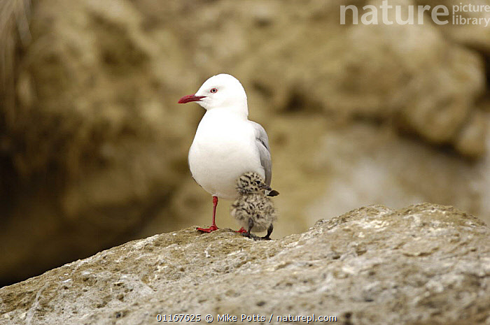 Red billed gull {Chroicocephalus scopulinus} adult with small chick, Cape Kiddnappers, North Island, New Zealand  ,  AUSTRALASIA, baby, BIRDS, chick, GULLS, NEW-ZEALAND, parent, SEABIRDS, VERTEBRATES  ,  Mike Potts