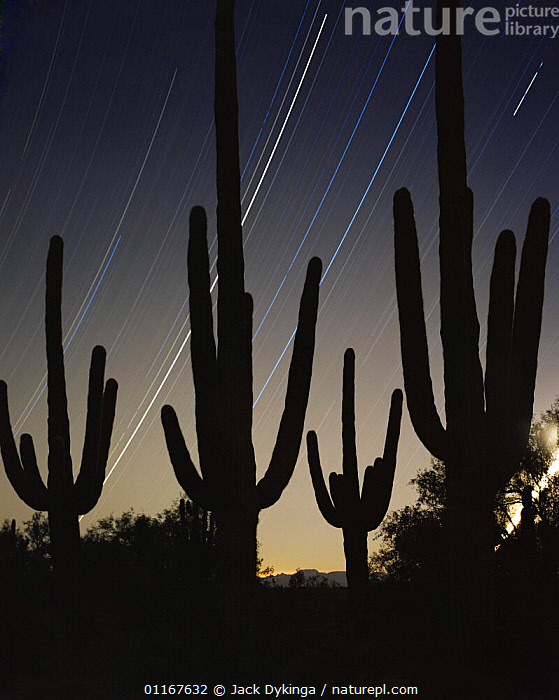 Saguaro Cacti (Carnegiea gigantea) silhouetted against night sky with star trails, time exposure for 5 hours after midnight, Cabeza Prieta National Wildlife Refuge, Arizona. New Years 2000  ,  ARIZONA,CACTACEAE,CACTUS,DESERTS,DICOTYLEDONS,LANDSCAPES,NEW MILLENIUM,NIGHT,NORTH AMERICA,PLANTS,SILHOUETTES,SKIES,STARS,STARTRAILS,STAR TRAILS,TIMELAPSE SHOTS,TRACKS,USA,VERTICAL,Catalogue1  ,  Jack Dykinga