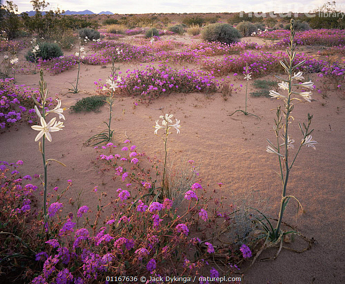 Desert Lillies (Hesperocallis undulata) and Desert Sand Verbena (Abronia villosa) at sunset, Mohawk Dunes, Barry M. Goldwater Range, Arizona  ,  ARIZONA,DESERTS,DICOTYLEDONS,FLOWERS,HABITAT,LANDSCAPES,LILIACEAE,MIXED SPECIES,MONOCOTYLEDONS,MOUNTAINS,NORTH AMERICA,NYCTAGINACEAE,PLANTS,PURPLE,SAND DUNES,USA,VERTICAL  ,  Jack Dykinga