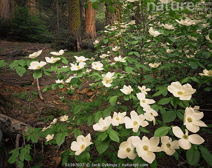Pacific Dogwood (Cornus nuttallii) in flower with Sequoia and White Fur tree trunks in background, Sequoia National Park, California  ,  CALIFORNIA,CONIFEROUS,DICOTYLEDONS,FLOWERS,FORESTS,NORTH AMERICA,NYSSACEAE,PINES,PLANTS,USA  ,  Jack Dykinga