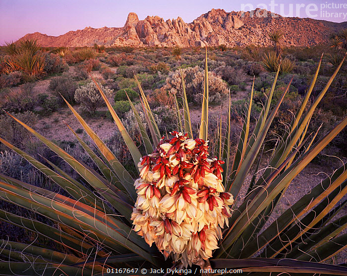 Flowering Mojave Yucca (Yucca schigigera) with the Granite Mountains in the background, dawn, Mojave National Preserve, California  ,  AGAVACEAE,CALIFORNIA,DESERTS,FLOWERS,HABITAT,LANDSCAPES,MONOCOTYLEDONS,NORTH AMERICA,PLANTS,SUNRISE,USA,YUCCAS  ,  Jack Dykinga