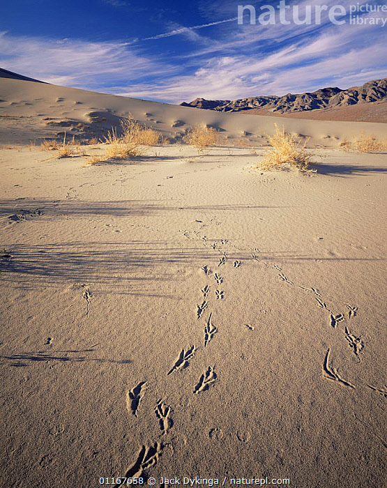 Bird (Raven) tracks in Eureka Sand Dunes with Last Chance Mountains in distance, Death Valley National Park, California  ,  BIRDS,California,DESERTS,LANDSCAPES,north america,NORTH AMERICA,NP,TRACKS,USA,VERTICAL,National Park  ,  Jack Dykinga