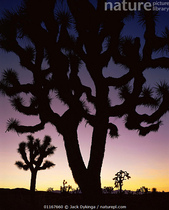 Joshua trees (Yucca brevifolia) silhouetted against dawn sky, Death Valley National Park, California  ,  AGAVACEAE,California,concepts,DESERTS,LANDSCAPES,MONOCOTYLEDONS,north america,NP,PLANTS,SILHOUETTES,SUNRISE,USA,VERTICAL,yuccas,National Park  ,  Jack Dykinga
