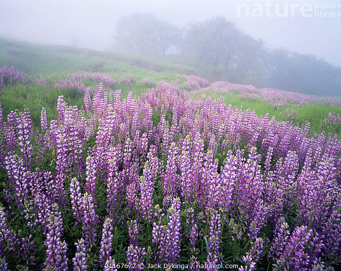 A large group of Broad-leaf Lupines (Lupinus latifolious) on a foggy hillside with Oregon White Oaks (Quercus garryana) in the distance, Bald Hills, Redwood National Park, California  ,  CALIFORNIA,DICOTYLEDONS,FABACEAE,FLOWERS,FOG,GROUPS,LANDSCAPES,LEGUMES,LUPINS,MIST,NORTH AMERICA,PLANTS,PURPLE,TREES,USA  ,  Jack Dykinga
