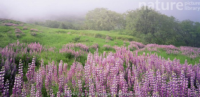 A large group of Broad-leaf Lupines (Lupinus latifolious) on a foggy hillside with Oregon White Oaks (Quercus garryana) in distance, Bald Hills, Redwood National Park, California  ,  CALIFORNIA,DICOTYLEDONS,FABACEAE,FLOWERS,FOG,GROUPS,LANDSCAPES,LEGUMES,LUPINS,MIST,NORTH AMERICA,PANORAMICS,PLANTS,PURPLE,TREES,USA  ,  Jack Dykinga