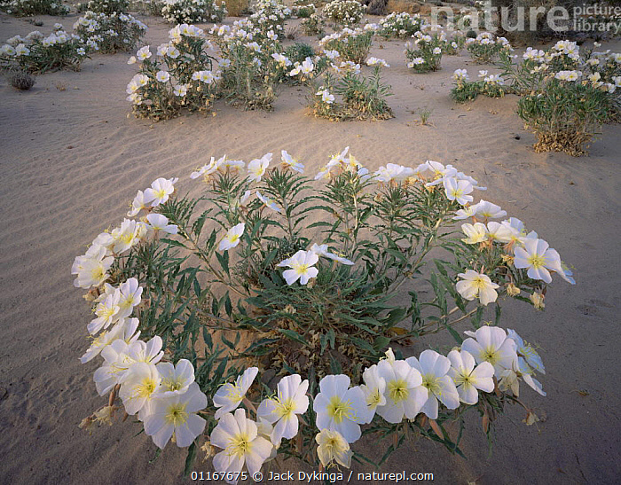 Birdcage Evening Primrose (Oenothera deltoides) in flower, Joshua Tree National Park, California  ,  CALIFORNIA,DESERTS,DICOTYLEDONS,FLOWERS,NORTH AMERICA,ONAGRACEAE,PLANTS,PRIMROSES,USA  ,  Jack Dykinga