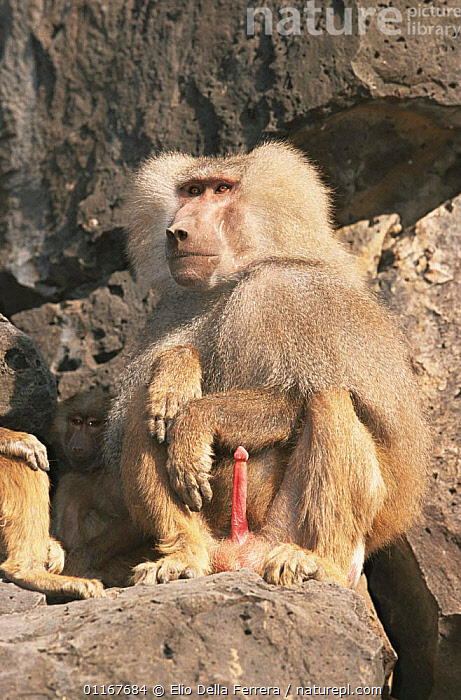 Male Hamadryas Baboon (Papio hamadryas) with erect penis, Ethiopia 1992  ,  AFRICA,BABOONS,BEHAVIOUR,ETHIOPIA,MALES,MAMMALS,MONKEYS,PORTRAITS,PRIMATES,SEX ORGANS,SEXUAL BEHAVIOUR,VERTEBRATES,VERTICAL  ,  Elio Della Ferrera