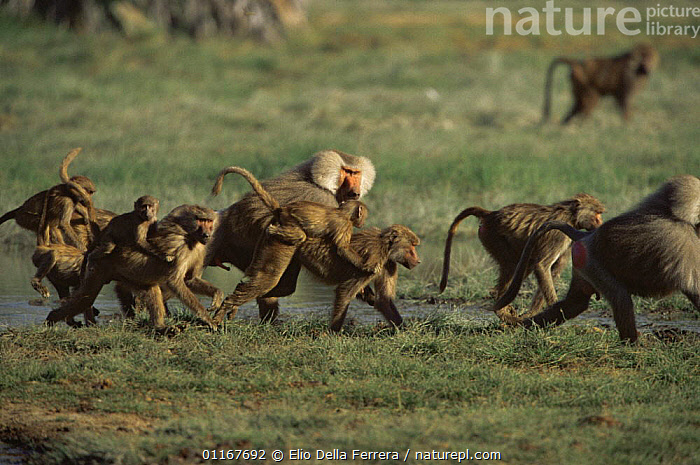Troop of Hamadryas Baboon (Papio hamadryas) crossing a stream, Ethiopia 1992 females carrying babies on back  ,  AFRICA,BABIES,BABOONS,BEHAVIOUR,Ethiopia,FAMILIES,GROUPS,JUVENILE,MAMMALS,MONKEYS,PRIMATES,troops,VERTEBRATES,WATER  ,  Elio Della Ferrera