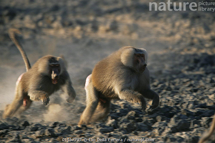 Male Hamadryas Baboon (Papio hamadryas) chasing another male during a fight, Ethiopia 1992, ACTION,AFRICA,AGGRESSION,BABOONS,BEHAVIOUR,competition,DOMINANCE,Ethiopia,MALES,MAMMALS,MONKEYS,PRIMATES,VERTEBRATES,Concepts, Elio Della Ferrera