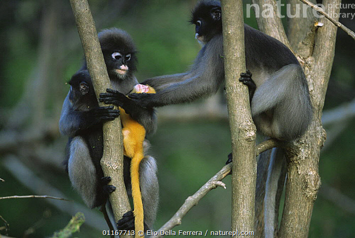 Female Dusky Leaf Monkey (Trachypithecus obscurus) attempting to take a new born baby from its mother, Thailand 1996  ,  BABIES,BEHAVIOUR,FEMALES,LANGURS,LEAF MONKEYS,MAMMALS,MOTHER,PARENTAL,PORTRAITS,PRIMATES,SOCIAL BEHAVIOUR,SOUTH EAST ASIA,SPECTACLED LEAF MONKEY,THAILAND,VERTEBRATES,VERTICAL,Asia  ,  Elio Della Ferrera