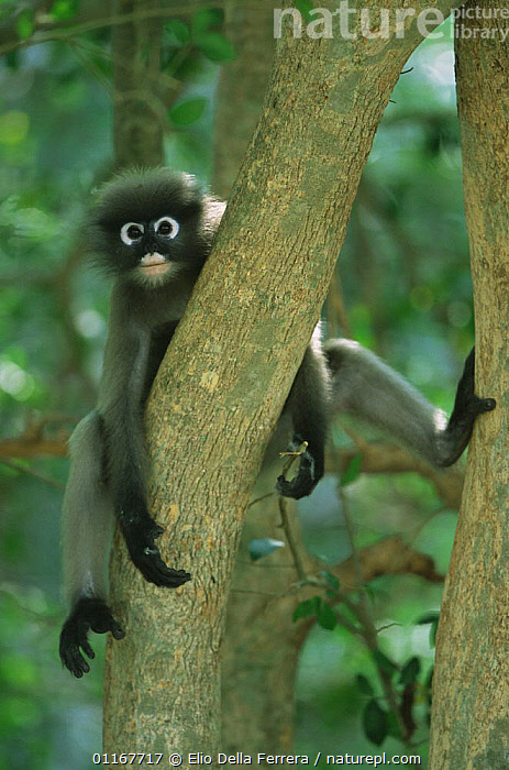 Dusky Leaf Monkey (Trachypithecus obscurus) resting in tree, Thailand 1996  ,  FORESTS,HUMOROUS,LANGURS,LEAF MONKEYS,MAMMALS,PORTRAITS,PRIMATES,SOUTH EAST ASIA,SPECTACLED LEAF MONKEY,THAILAND,VERTEBRATES,VERTICAL,Asia,Concepts  ,  Elio Della Ferrera