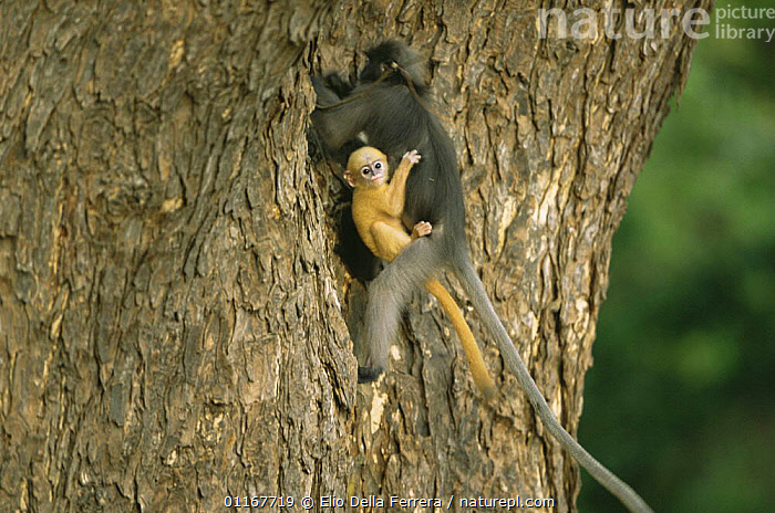 Yellow baby Dusky Leaf Monkey (Trachypithecus obscurus) holding onto mother whilst she climbs a tree trunk, Thailand 1996  ,  BABIES,BEHAVIOUR,CARRYING,CLINGING,CUTE,FORESTS,LANGURS,LEAF MONKEYS,MAMMALS,PARENTAL BEHAVIOUR,PRIMATES,SOUTH EAST ASIA,SPECTACLED LEAF MONKEY,THAILAND,TREES,VERTEBRATES,Asia,Plants  ,  Elio Della Ferrera