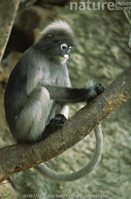Juvenile Dusky Leaf Monkey (Trachypithecus obscurus) grooming his tail searching for fleas, Thailand 1996  ,  BEHAVIOUR,FORESTS,GROOMING,JUVENILE,LANGURS,LEAF MONKEYS,MAMMALS,PORTRAITS,PRIMATES,SOUTH EAST ASIA,SPECTACLED LEAF MONKEY,TAILS,THAILAND,VERTEBRATES,VERTICAL,Asia  ,  Elio Della Ferrera