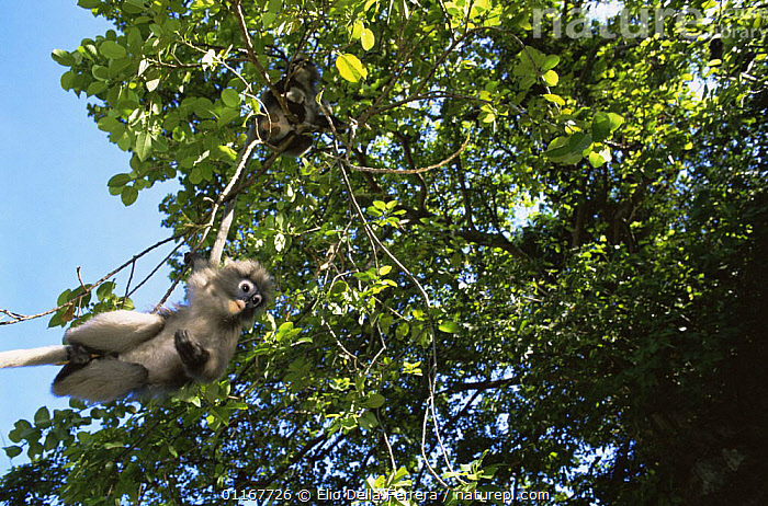 Dusky Leaf Monkey (Trachypithecus obscurus) hanging precariously on a small branch, Thailand 1996  ,  BEHAVIOUR,JUMPING,LANGURS,LEAF MONKEYS,MAMMALS,PRIMATES,SOUTH EAST ASIA,SPECTACLED LEAF MONKEY,THAILAND,TREES,VERTEBRATES,Asia,Plants  ,  Elio Della Ferrera