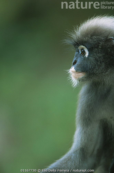 Profile portrait of male Dusky Leaf Monkey (Trachypithecus obscurus), Thailand 1996  ,  LANGURS,LEAF MONKEYS,MALES,MAMMALS,PORTRAITS,PRIMATES,PROFILE,SOUTH EAST ASIA,SPECTACLED LEAF MONKEY,THAILAND,VERTEBRATES,VERTICAL,Asia  ,  Elio Della Ferrera