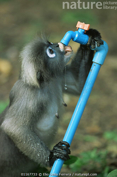 Male Dusky Leaf Monkey (Trachypithecus obscurus) drinking from tap, Thailand 1996  ,  BEHAVIOUR,DRINKING,LANGURS,LEAF MONKEYS,MALES,MAMMALS,PORTRAITS,PRIMATES,SOUTH EAST ASIA,SPECTACLED LEAF MONKEY,THAILAND,VERTEBRATES,VERTICAL,WATER,Asia  ,  Elio Della Ferrera