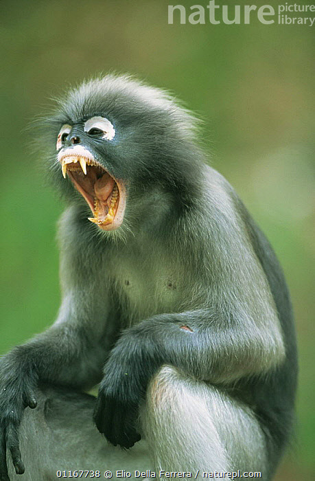 Male Dusky Leaf Monkey (Trachypithecus obscurus) yawning, Thailand 1996  ,  BEHAVIOUR,FORESTS,LANGURS,LEAF MONKEYS,MAMMALS,MOUTHS,PORTRAITS,PRIMATES,SOUTH EAST ASIA,SPECTACLED LEAF MONKEY,TEETH,THAILAND,TONGUES,VERTEBRATES,VERTICAL,Asia  ,  Elio Della Ferrera