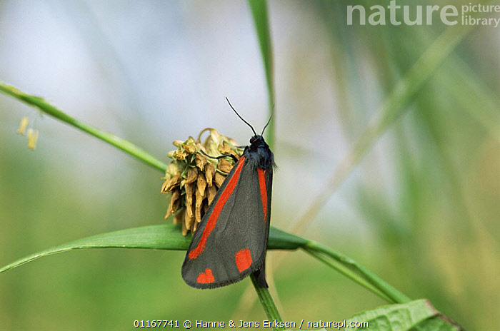 Cinnabar moth {Tyria jacobaeae} France  ,  LEPIDOPTERA, MOTHS, EUROPE, INSECTS, INVERTEBRATES, NOCTUID-MOTHS  ,  Hanne & Jens Eriksen
