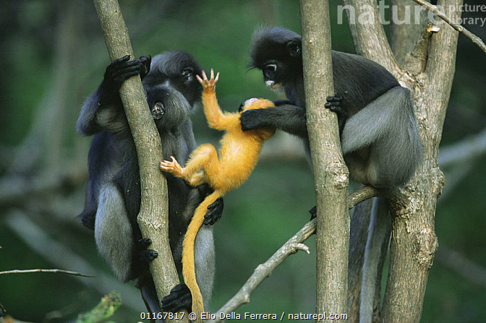 Female Dusky Leaf Monkey (Trachypithecus obscurus) attempting to take a yellow-furred newborn from its mother, Thailand 1996  ,  BABIES,BEHAVIOUR,FEMALES,FORESTS,LANGURS,LEAF MONKEYS,MAMMALS,MOTHER,PARENTAL,PRIMATES,social,South East Asia,SPECTACLED LEAF MONKEY,stealing,thailand,VERTEBRATES,Asia  ,  Elio Della Ferrera